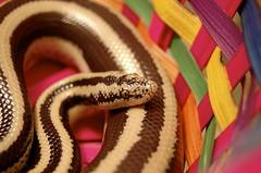 Ascius (Julian Rossi) Tags: reptile snake boa mexican snakes rosies herp reptiles herps boas rosy trivirgata lichanura