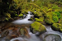 Limb Bow (Michael Bollino) Tags: green nature water leaves oregon creek forest flow fan moss nikon bow gorge ferns limb cascade limbo columbiarivergorge d300 luminosity ostrellina michaelbollino