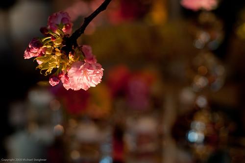 Lone cherry blossum