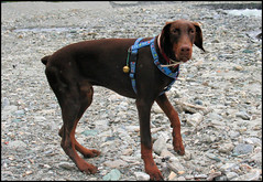 Tato (coda.allegra) Tags: dog dobermann pupp