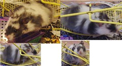 Bandit (haecklers) Tags: fancy calico hamster syrian