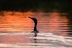 Backlit Cormorant (gseloff) Tags: kayak texas pasadena armandbayou top20texas bestoftexas gseloff lifetnc10 galvestonbayestuary