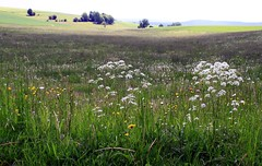(:Linda:) Tags: flower germany landscape countryside thringen village meadow thuringia blume wildflower landschaft thuringian wildblume weiseblume