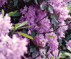 Rhodos (samfeinstein) Tags: nikon lavender rhododendron vr 70300 d300 rhodo