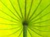Lotus Umbrella 蓮傘 (olvwu | 莫方) Tags: plant flower macro lotus bokeh farm taiwan ntu taipei bud 荷花 laef 蓮花 lotusflower nelumbonaceae taipeicounty nelumbo sindian jungpangwu oliverwu oliverjpwu nelumbonucifera 50mmmacro 台大農場 ntufarm proteales nelumbonuciferagaertn olvwu eastindianlotus 台大安康農場 sindiancity jungpang 台大農改場 ntuangkangfarm ntuankangfarm
