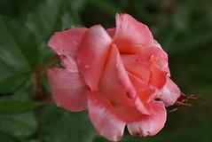 First Pink Rose