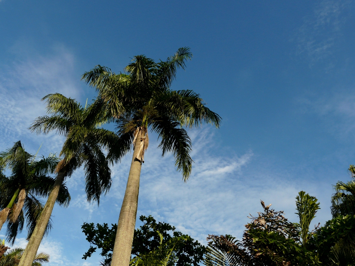 Royal palm (Roystonea regia) against rare blue sky in Taipei