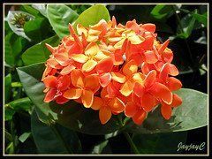 Ixora chinensis 'Sheena' with salmon-orange flowers at our neighborhood