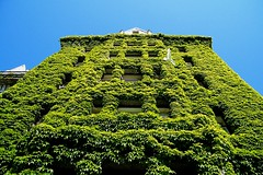The Ivy Wall (Explored) (Brandon Godfrey) Tags: windows canada green up vancouver island britishcolumbia seagull ivy bluesky symmetry lookingup explore vancouverisland pacificnorthwest northamerica victoriabc empresshotel innerharbour theempress parthenocissusquinquefolia theempresshotel ivywall explored thefairmontempress victoriasinnerharbour theinnerharbour june142009