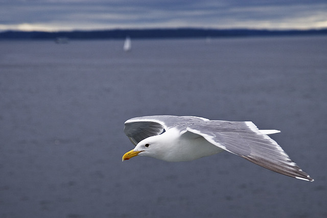 Flying-Gull_1016