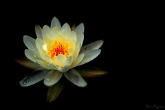 Water Lily (Evan Pagano) Tags: evan orange white lake black flower water floral dark drops pond lily darkness background pad grandpa lilypad pagano mywinners photocontesttnc09