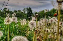 Dandelions in the Field