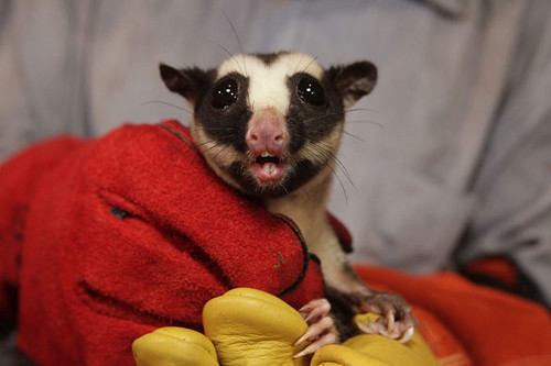 PNGStriped-Possum