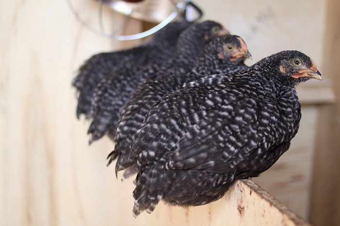 05-21-chickens1