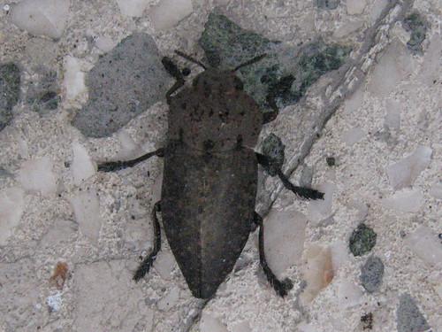 insettino
