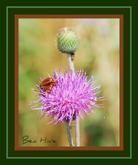 Basket Flower and Unknown bugs. (Bea Hive) Tags: usa texas thistle insects bugs wildflowers basketflower