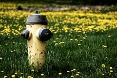 Weeds (ICT_photo) Tags: flower green grass yellow hydrant fire weed lawn dandelion blade ictphoto ianthomasguelphontario