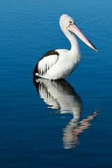 Pelican (Bossjanie :- Living is Loving.. Loving is living..) Tags: reflection bird water pelican wow1 swanbay thechallengegame challengegamewinner acganotherchallengegroup mygearandme mygearandmepremium mygearandmebronze mygearandmesilver mygearandmegold mygearandmeplatinum mygearandmediamond blinkagain dblringexcellence tplringexcellence bestofblinkwinners artistoftheyearlevel4 flickrstruereflection1 flickrstruereflection2 flickrstruereflection3 flickrstruereflection4 flickrstruereflection5 flickrstruereflection6 flickrstruereflection7 artistoftheyearlevel5 eltringexcellence flickrstruereflectionexcellence 4timesasnice 6timesasnice trueexcellence1 5timesasnice trueexcellence2 trueexcellence3 7timesasnice artistoftheyearlevel7 artistoftheyearlevel6 rememberthatmomentlevel4 rememberthatmomentlevel1 rememberthatmomentlevel2 rememberthatmomentlevel3 rememberthatmomentlevel7 rememberthatmomentlevel9 rememberthatmomentlevel5 rememberthatmomentlevel6 rememberthatmomentlevel8