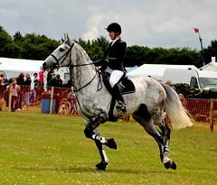 onward we go (littlestschnauzer) Tags: show horse irish west june grey jumping yorkshire fences riding dappled stallion agricultural draught honley 2011
