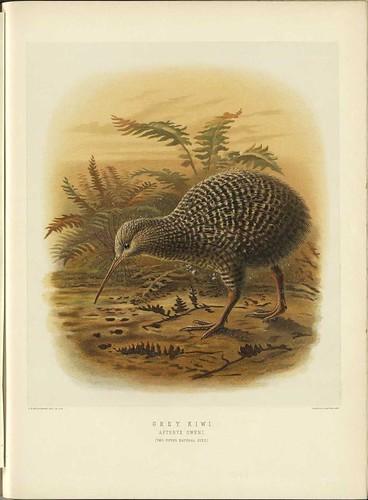 Grey Kiwi - Apteryx oweni