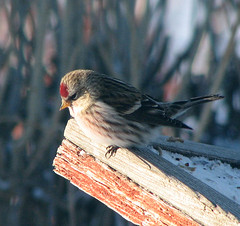 Redpoll (durtcom) Tags: nature birds animals redpoll featheryfriday canonpowershots3is