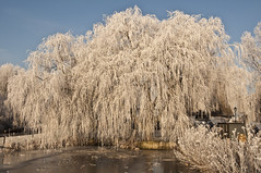 Weeping Willow in the Winter Noord AA Netherlands (Frans Hofstede) Tags: trees winter holland nature dutch landscape flora fourseasons zoetermeer landschap d90 hollandslandschap fineartphotos mywinners nikond90 onlyyourbestshots funfanphotos naturescreations nikond90club franshofstede ©franshofstede hollandfotoart hollandfotoartnl