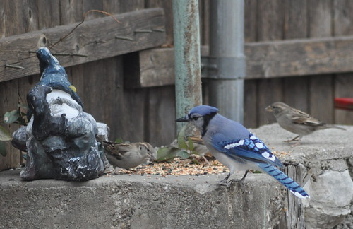 Blue Jay and House Sparrows