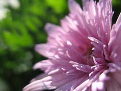 Silence'sSoftnesS (violsk) Tags: pink light sun flower green nature colors purple softness rosa silence fiore colori luce naturesfinest rubyphotographer