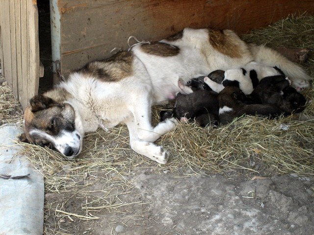 dog-puppies-barn