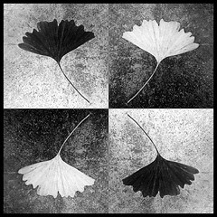 GINKGO BILOBA (Corinne DEFER - DoubleCo) Tags: blackandwhite bw france blancoynegro corinne book ginkgo noiretblanc memories kaleidoscope nb ginkgobiloba biancoenero feuille carr naturemorte defer damier platinumheartaward carrfranais miasbest updatecollection
