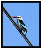 Woodland Kingfisher by Elaine Fisher