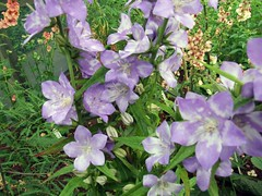 CAMPANULA latiloba 'Splash'