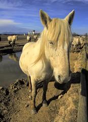 Cavall sociable