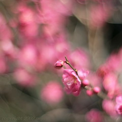 into a dreamland ...  夢の中へ (_nejire_) Tags: pink plant flower macro nature japan canon eos 50mm tokyo flora kiss blossom bokeh blossoms explore ume japaneseplum prunus 930am korakuen japaneseapricot koishikawakorakuen 30faves fave20 50faves 10faves 20faves hbw mume prunusmume 35faves 25faves nejire 400d eos400d kissx fave10 fave30 bokehwednesday fave50 mhashi fave35 fave25 planart1450ze 12632634g030am 14935674g7am