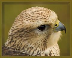 "Lanner Falcon (davolly59 catching up soon, busy busy) Tags: birds prey 1001nights soe breathtaking birdwatcher bbp otw aplusphoto mycameraneverlies concordians platinumheartaward natureoutpost abovealltherest naturespotofgold breathtakinggoldaward 100commentgroup naturescreations ""flickraward"" mwqio"
