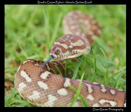 Bredl's Carpet Python - Irwin