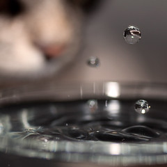 My cat loves water (crsan) Tags: macro water closeup cat canon square nose three drops dof sweden bokeh ripple extreme wave 100mm sharp 28 2009 glas dripping thirsty nykping shortexposure 50d thetra canon50d crsan masterpiecesoflightdark holmr christianholmercom
