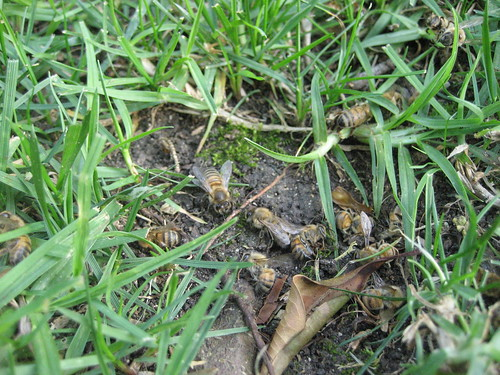 Dying Bees by operaticomnivore, on Flickr