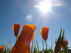 Morning poppies (Lafayette, California, United States) Photo
