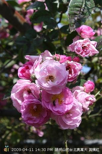 09.04.11 漂亮的爬藤薔薇@陽明山 (2)