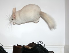 Acrobat (wisely-chosen) Tags: jumping chinchilla april lightning 2009 leaping hopping picnik bouncingoffthewalls popcorning adobephotoshopcs4 pinkwhitechinchilla