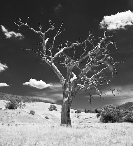 Tree at Kancoona