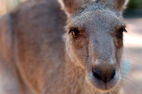 Kangaroo closeup