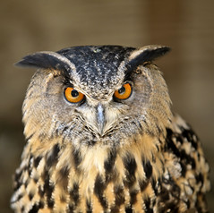 Death Stare (Liz Faulkner) Tags: bird cotswolds owl bengaleagleowl naturesfinest vosplusbellesphotos copyrightelizabethfaulknerdiffanglephotolrps
