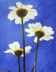 ('sema) Tags: sky love daisy sema gkyz gne papatya teekkrler photolovers flowermania flickrlovers addictedtoflower