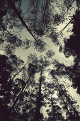 everything's looking up! (M3R) Tags: tree silhouette canon indonesia wideangle frombelow eucalyptus bandung westjava canonefs1022mmf3545usm ciwidey 50d rancaupas mariaismawi