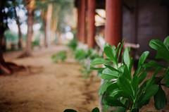 Buai Beach Resort (36810004) (Fadzly @ Shutterhack) Tags: street plant film leaves analog catchycolors malaysia terengganu marang kualaterengganu kodak200 my leicar6 fadzlymubin shutterhack negativefilmscan buaibeachresort summicronr3520