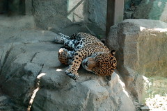 Jaguar stretching
