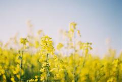 (MilkyAir) Tags: film yellow analog iso200 spring dof polska praktica canola mtl3 rossman milkyair