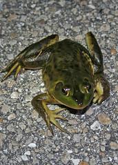 Pig Frog (traviswilcoxen) Tags: okaloacoocheesloughstateforest